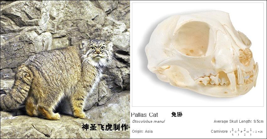 【原创】各种猫科动物的头骨模型和尺寸