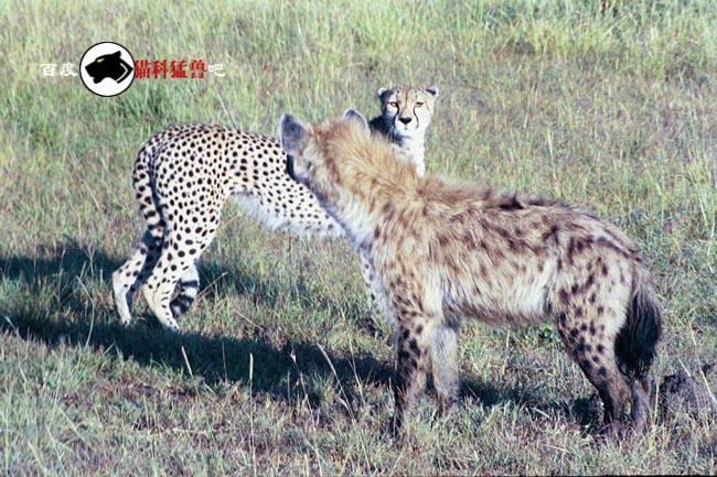 动物界以弱胜强的著名战例之.鬣狗-猎豹